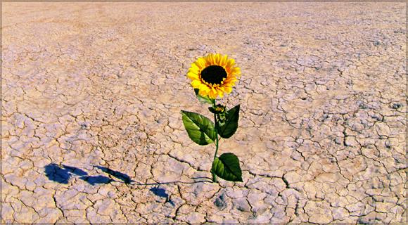 Peace is a desert flower