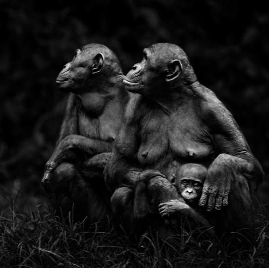 La inteligencia emocional de los bonobos