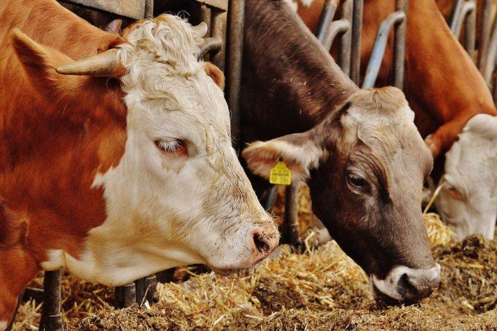 Le Tafta et le Ceta menacent l'élevage européen, expliquent des expertes américaines