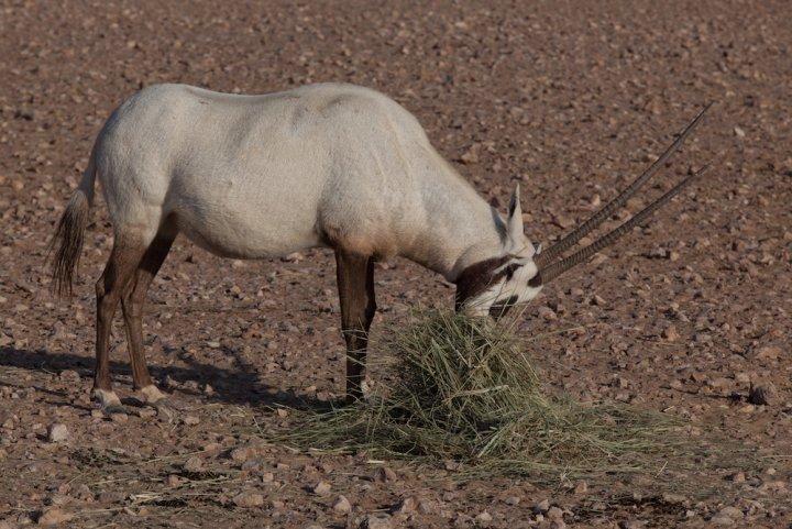 À Oman, la bataille pour sauver l'oryx des braconniers – et du pétrole
