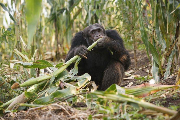 Des chimpanzés défigurés en Ouganda, les pesticides suspectés