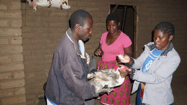 Malawi's Communal Fight Against Deadly Avian Disease